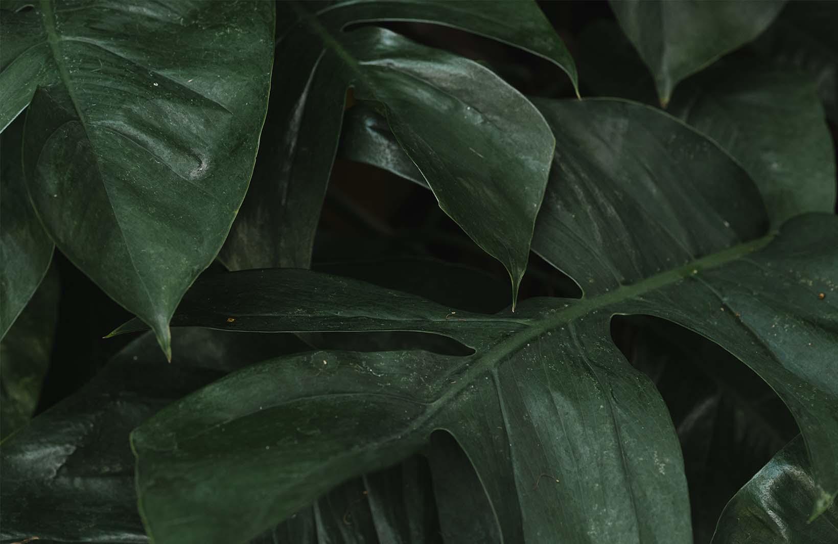 Насыщенные фотообои с крупными листьями монстеры Узоры на Стене